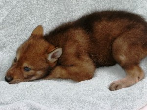 Red wolf pups to be named at zoo Saturday